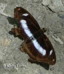 Athyma cama zoroastes.thumbnail Butterfly   Brushfoot Family (Nymphalidae)