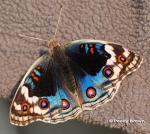 Blue Pansy (Junonia orithya)