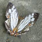 Map Butterfly (Cyrestis thyodamas)