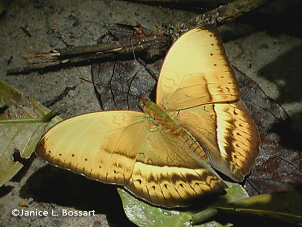Common Yellow Glider (Cymothoe egesta)