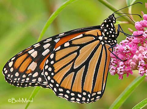 are butterflies poisonous the children s butterfly site