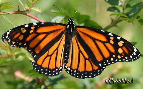 Butterfly Moth Facts For Kids