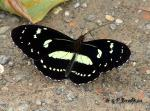 Heliconius atthis Otun24 VII copyright.thumbnail Butterfly   Brushfoot Family (Nymphalidae)