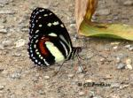 Heliconius atthisV copyright.thumbnail Butterfly   Brushfoot Family (Nymphalidae)
