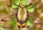 Snowberry clearwing (Hemaris diffinis)
