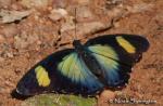 Noah1 Euphaedra janetta.thumbnail Butterfly   Brushfoot Family (Nymphalidae)