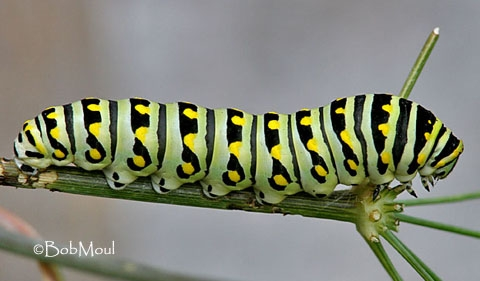 How many legs does a caterpillar have The Childrens Butterfly Site