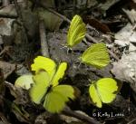 Common Grass-Yellow (Eurema hecabe)