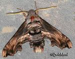 Abbott's sphinx (Sphecodina abbottii)