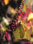 White Angled-Sulphur (Anteos clorinde)