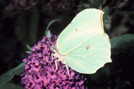 The Brimstone (Gonepteryx rhamni)
