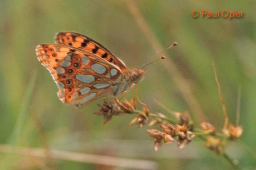 Queen of Spain Fritillary (Issoria lathonia)