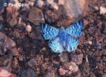 Blue Metalmark (Lasaia agesilas)