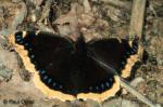 nyan.thumbnail Butterfly   Brushfoot Family (Nymphalidae)