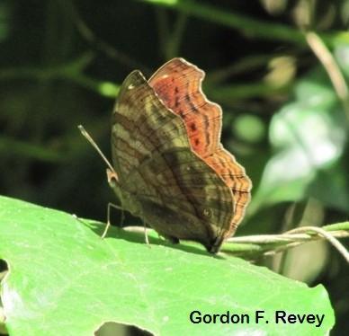 Bộ sưu tập cánh vẩy 6 - Page 16 Nymphalidae-Junonia-chorimene-Golden-Pansy-crop